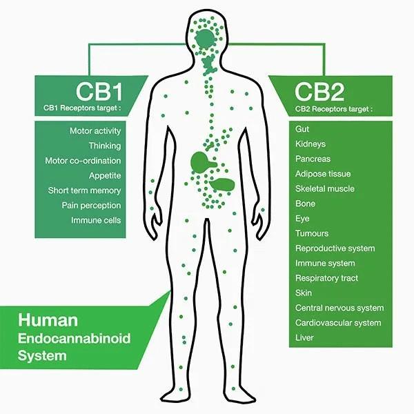 Human Endocannabinoid System CBD and Endometriosis