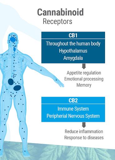 Cannabinoid Receptors CBD Oil Australia