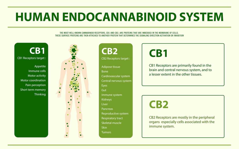 Human Endocannabinoid System CBD Oil for Depression