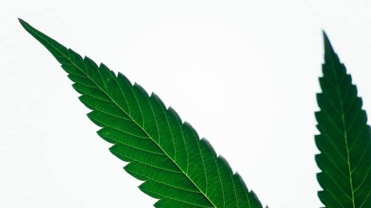 Cannabis leaves and its history